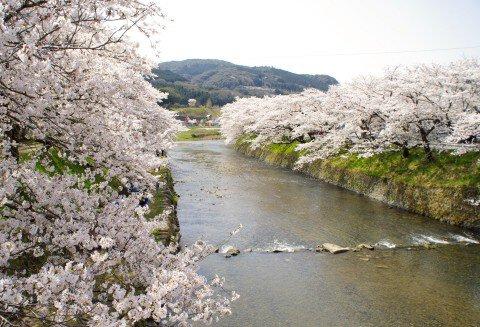 【桜・見頃】厚狭川河畔