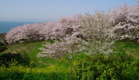 【桜・見頃】竜王山公園