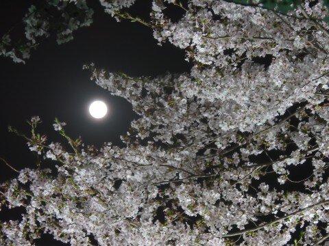 【桜・見頃】桜ネックレス