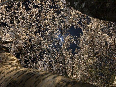 【桜・見頃】日岡山公園