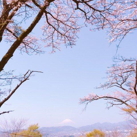 【桜・見頃】弘法山公園