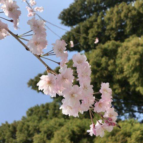 【桜・見頃】泉自然公園