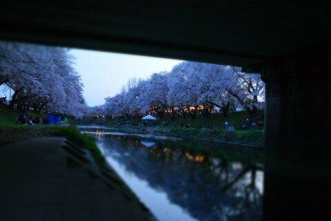 新境川堤の桜並木の桜 (岐阜県各...