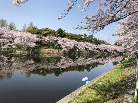 【桜・見頃】荒子川公園