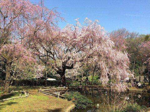 【桜・見頃】荒井城址公園の桜名所写真