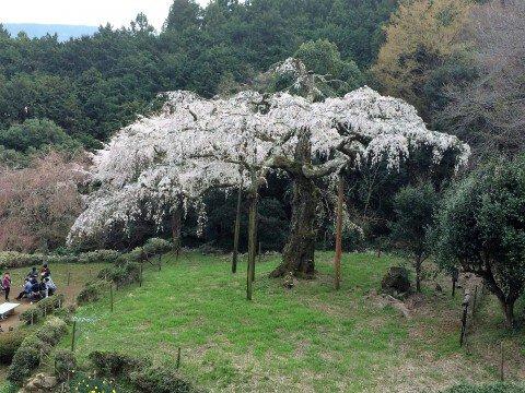 【桜・見頃】長興山紹太寺のしだれ桜