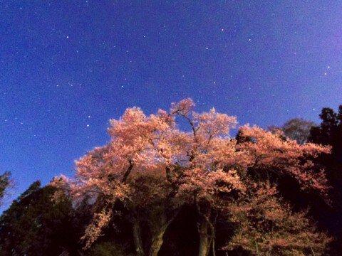 【桜・見頃】吉良のエドヒガン(桜)の桜名所・お花見写真