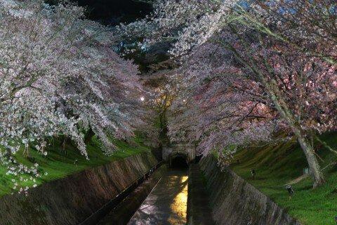【桜・見頃】琵琶湖疏水