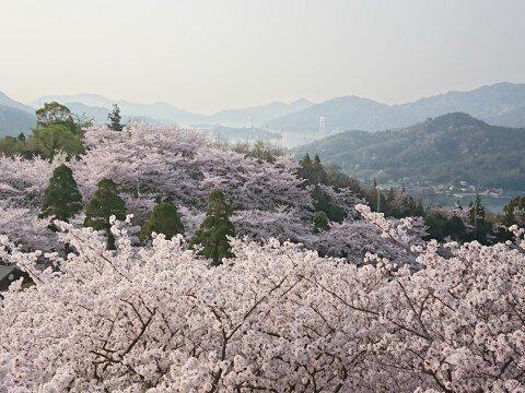 【桜・見頃】開山公園の桜名所・お花見写真