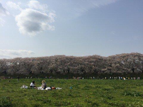 【桜・見頃】淀川河川公園背割堤地区