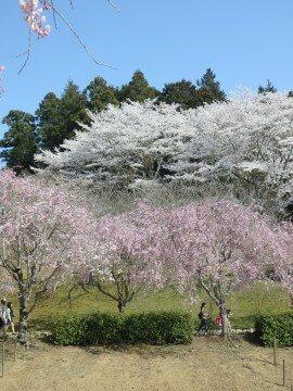 【桜・見頃】常陸風土記の丘の桜名所写真