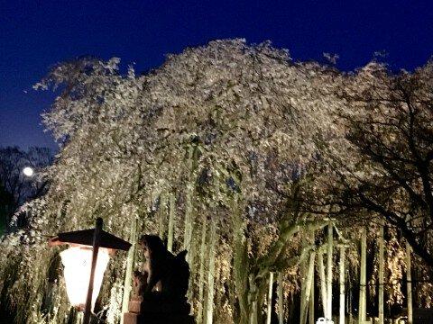 【桜・見頃】足羽山公園の桜名所・お花見写真