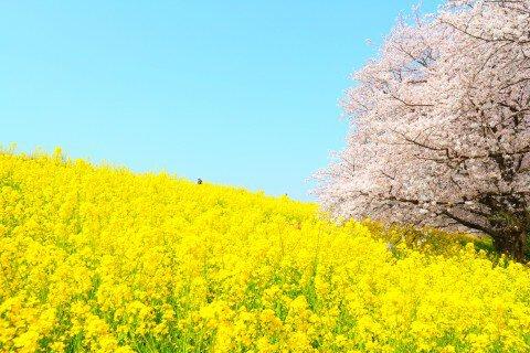 【桜・見頃】熊谷桜堤