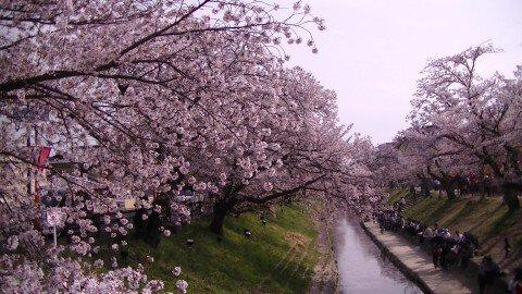 【桜・見頃】高田千本桜