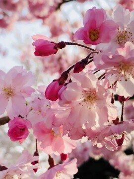 【桜・見頃】摂津峡公園