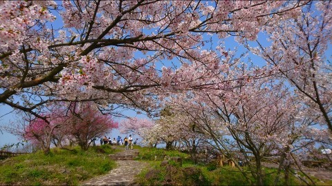 【桜・見頃】女木島の桜名所写真
