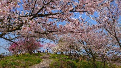 【桜・見頃】女木島の桜名所・お花見写真