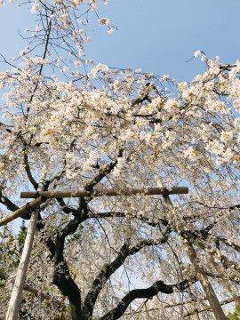 【桜・見頃】円山公園