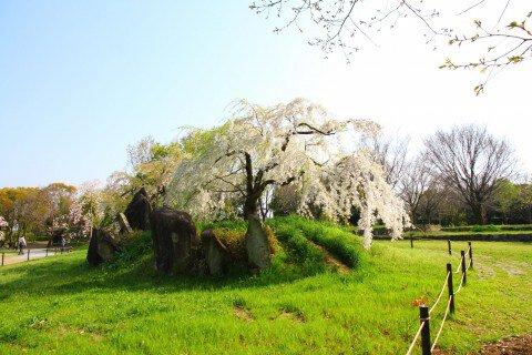 【桜・見頃】大仙公園