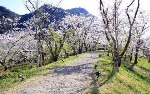 【桜・見頃】長良川堤