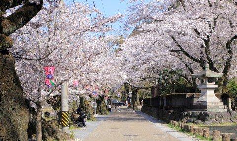 【桜・見頃】岐阜公園長良川堤