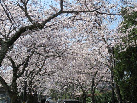 【桜・見頃】伊豆高原桜並木