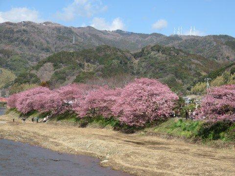 【桜・見頃】河津川沿桜並木