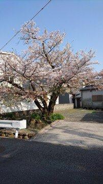【桜・見頃】福山城公園