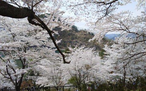 【桜・見頃】君ヶ野ダム公園の桜名所・お花見写真