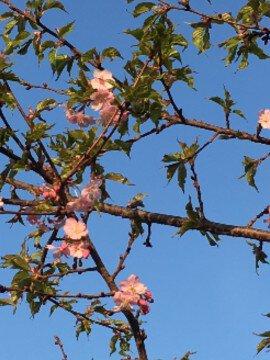 桶川河津桜