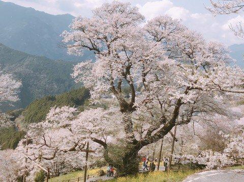 【桜・見頃】ひょうたん桜公園