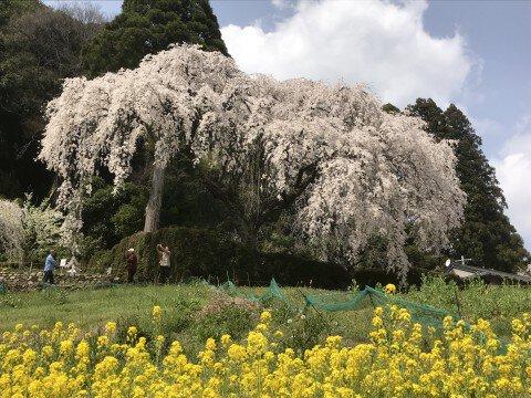 【桜・見頃】中越家のしだれ桜