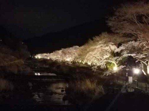 【桜・見頃】宮城野早川堤
