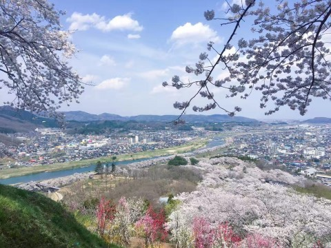 【桜・見頃】柴田町船岡城址公園