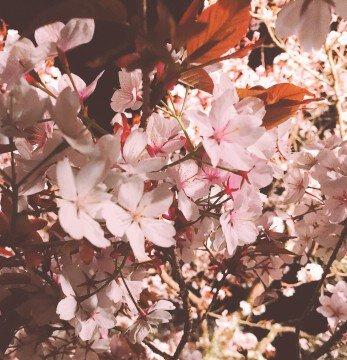 【桜・見頃】浅井の一本桜の桜名所・お花見写真