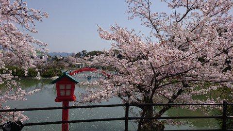 【桜・見頃】垣生公園の桜名所・お花見写真