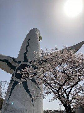 【桜・見頃】万博記念公園