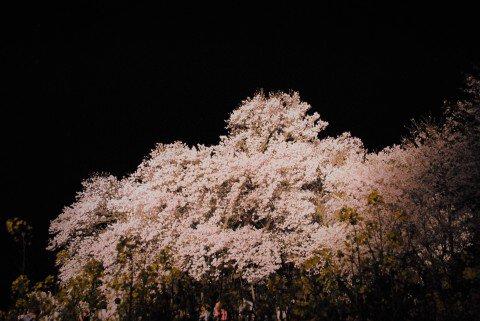【桜・見頃】一心行の大桜の桜名所・お花見写真