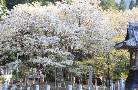 願城寺の中将姫西岸桜