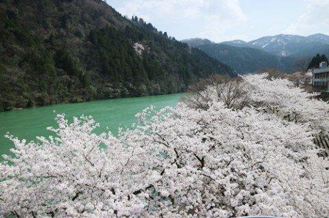 【桜・見頃】庄川水記念公園