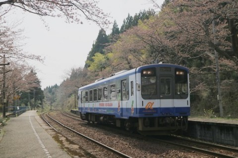 【桜・見頃】能登さくら駅(能登鹿島駅)の桜名所写真