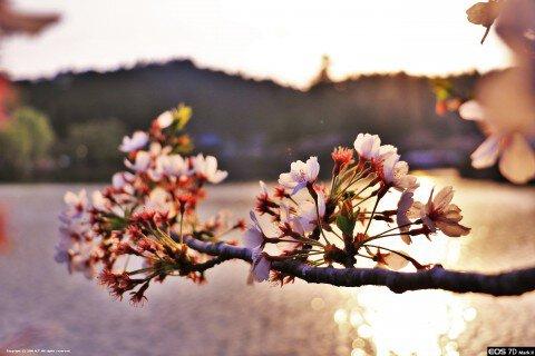 【桜・見頃】八鶴湖畔の桜名所写真