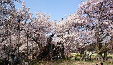 【桜・見頃】山高神代桜の桜名所写真