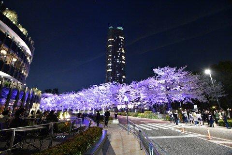【桜・見頃】東京ミッドタウン