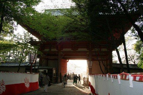 【桜・見頃】醍醐寺