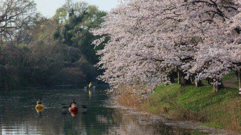 【桜・見頃】福岡堰の桜