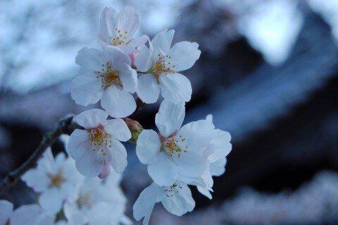 高松市の桜名所・お花見写真