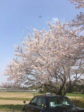 成田空港周辺の桜名所・お花見写真