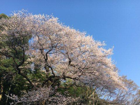 【桜・見頃】エドヒガンザクラ(北本自然観察公園内)