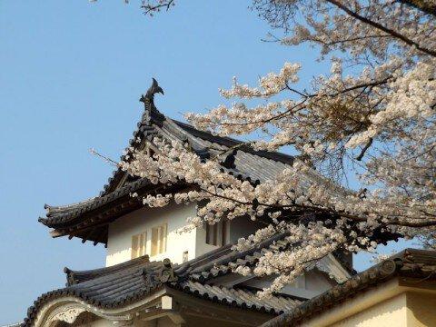 【桜・見頃】出石城跡の桜名所・お花見写真